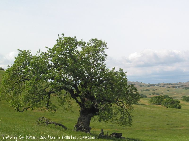 Oak_tree_hollister_california